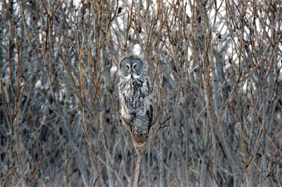 Great Gray Owl, Montreal, PQ