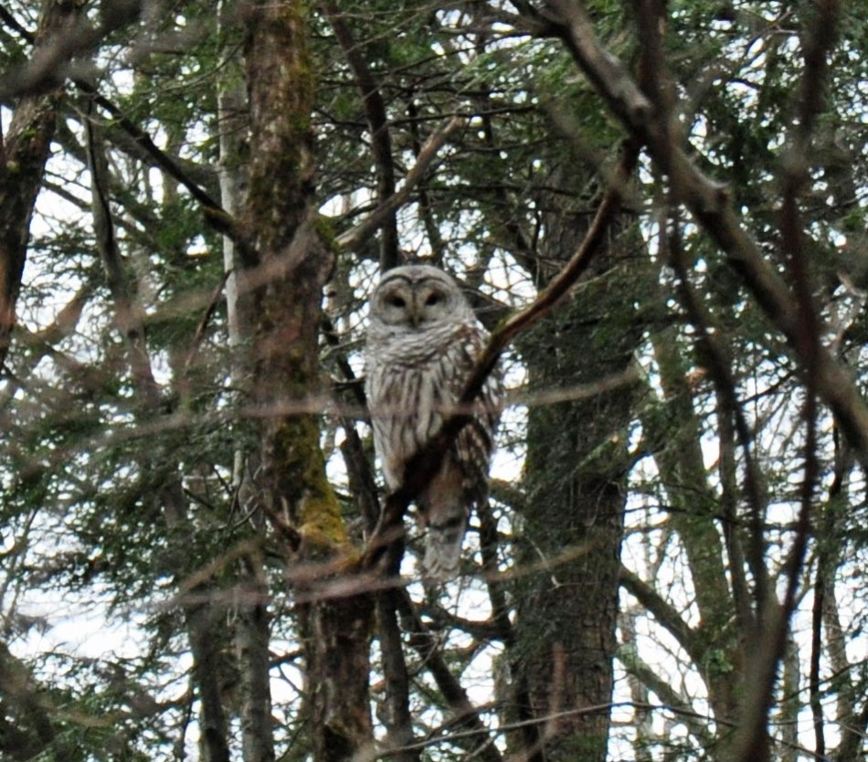 Barred Owl - New Baltimore, New York - December 2012 - By Danika Raup
