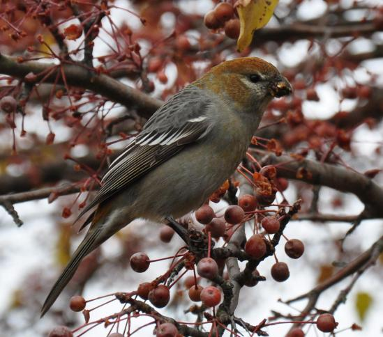 Pine Grosbeak - Queensbury, Warren County NY - December 2012 by Will Raup