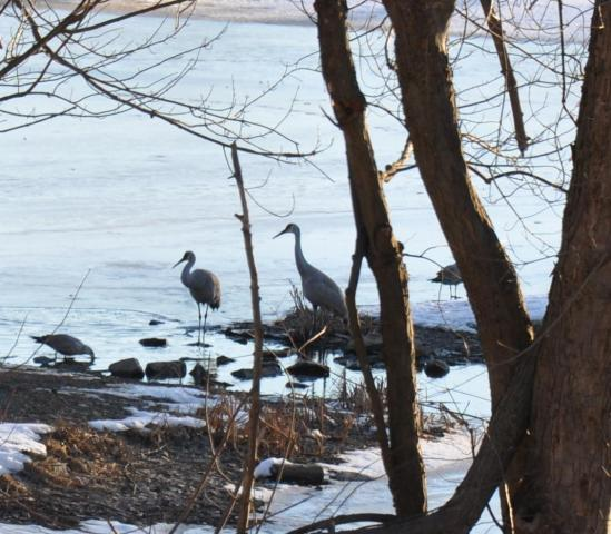 Sandhill Cranes, Saratoga County NY - January 2013 - By Danika Raup